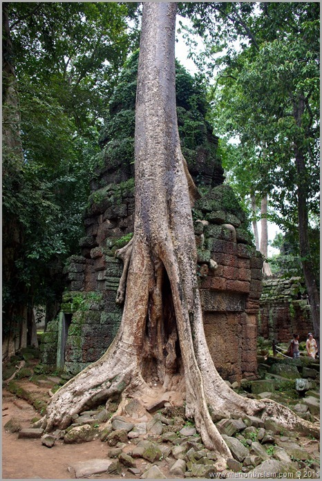 Tree growing over temple. Ta Prohm, Angkor, Cambodia