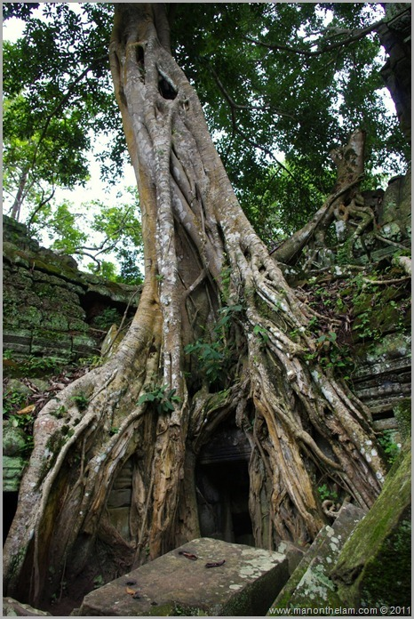 Ta Prohm temple with tree, Angkor, Siem Reap Province, Cambodia