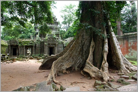 Ta Prohm tree with twisted roots, Angkor, Siem Reap Province, Cambodia