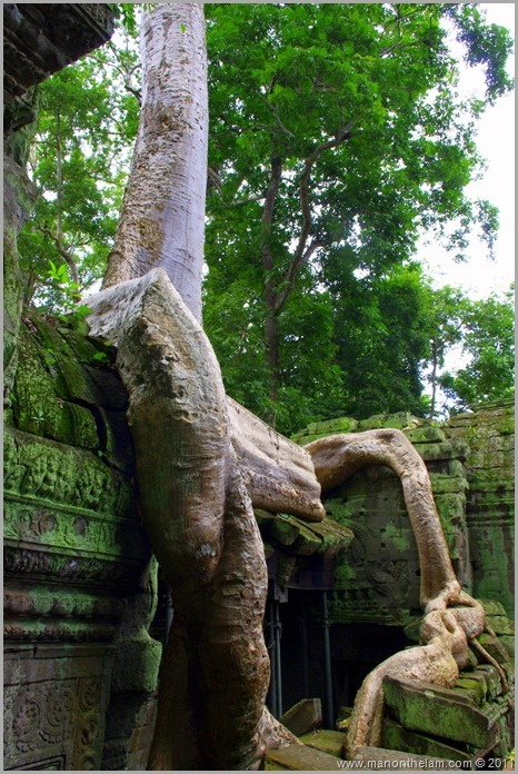 Thick tree roots overtake wall, Ta Prohm