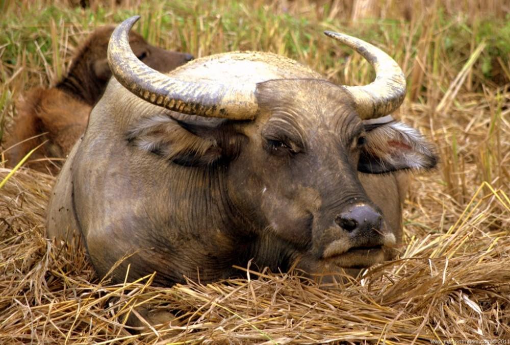 Travel Photo of the Week -- Water Buffalo Evil Eye