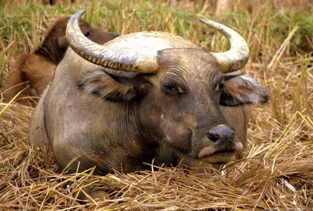 Travel Photo of the Week -- Water Buffalo Evil Eye