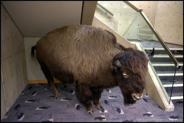 Stuffed bison -- Head-Smashed-In Buffalo Jump, Alberta, Canada