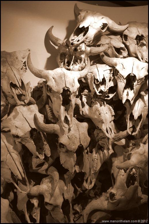 Buffalo skulls -- Head-Smashed-In Buffalo Jump, Alberta, Canada