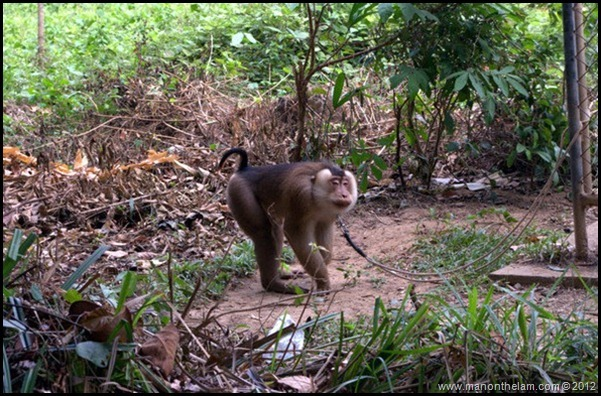 Monkey in chains, Koh Libong, Thailand