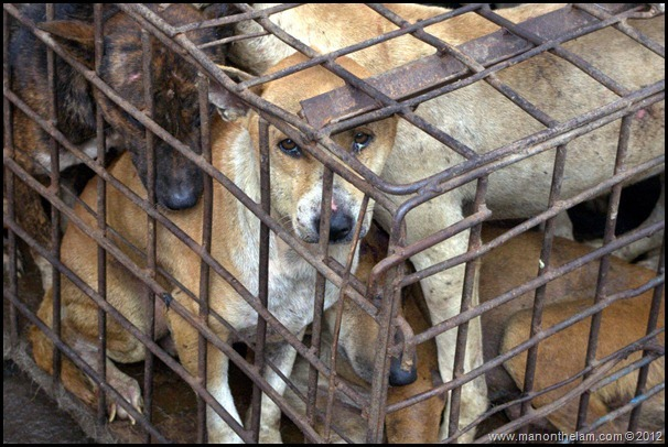 Dogs crammed in cage Tomohon Traditional Market, Tomohon, North Sulawesi, Indonesia