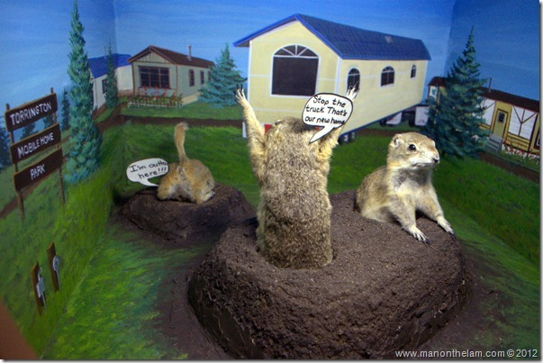 Gophers in a trailer park at Gopher Hole Museum, Torrington Alberta