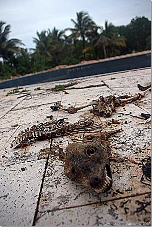 coati skeleton -- Abandoned Beach Resort, Club Maeva Tulum, Xpuha, Riviera Maya, Mexico 304-004