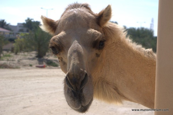 Camel-at-Janabiya-Royal-Camel-Farm-Bahrain.jpg
