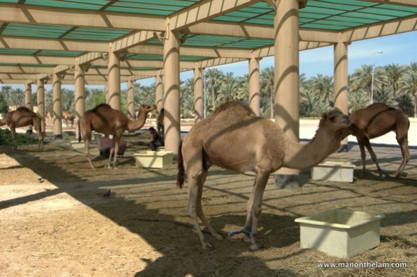 Camels-with-ropes-tied-around-their-legs.jpg