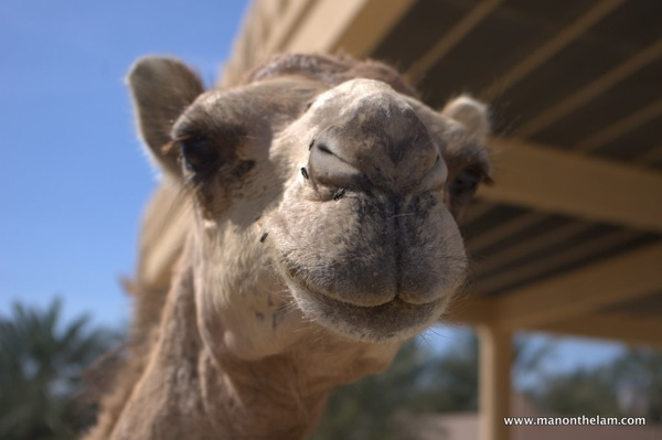 Close up of camel s head