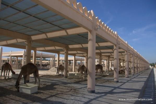 Camel Gazing at the Royal Camel Farm Bahrain - Man On The ...