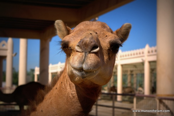 Janabiya Royal Camel Farm Bahrain 3