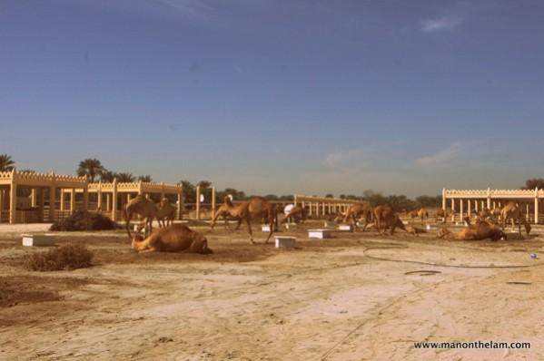 Janabiya-Royal-Camel-Farm-Bahrain-4.jpg