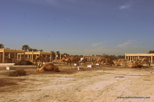 Janabiya Royal Camel Farm Bahrain 4