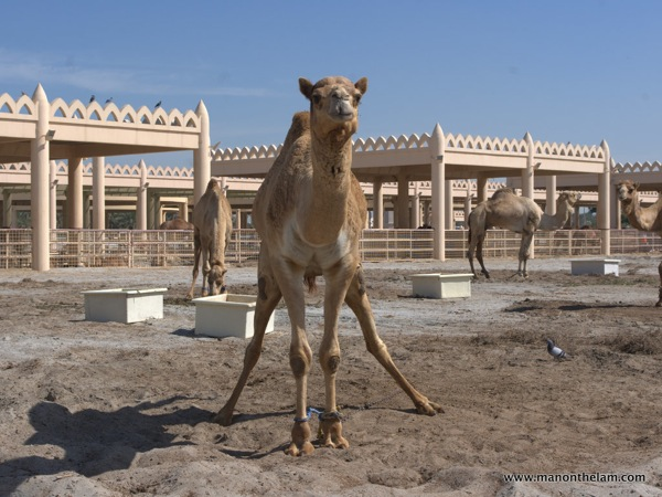 Janabiya Royal Camel Farm Bahrain 6