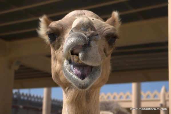 snarling-camel-at-Janabiya-Royal-Camel-Farm-Bahrain