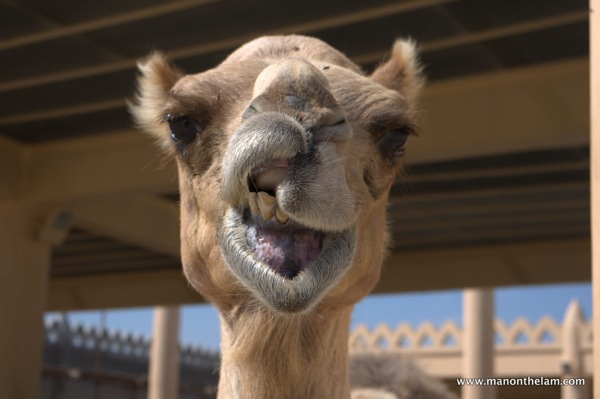 Snarling camel at Janabiya Royal Camel Farm Bahrain