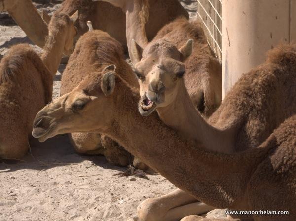 Snarling camel