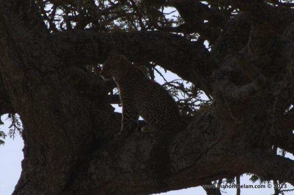 Cheetah in a tree, Serengeti National Park, Tanzania.