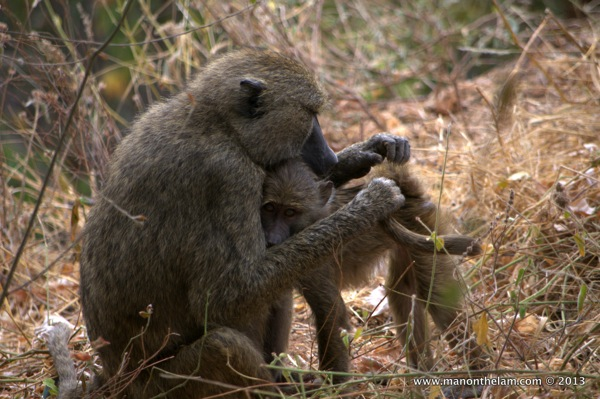 Mother and baby baboons, Tarangire National Park Tanzania 511