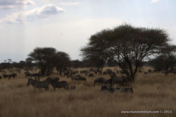 Zebras and Widebeests, Tarangire National Park Tanzania 371