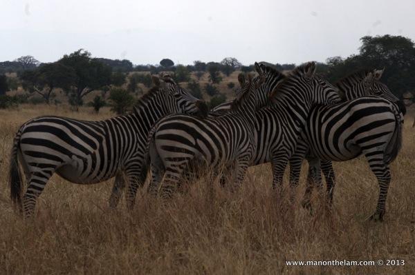 Group of Zebras, Tarangire National Park Tanzania 424