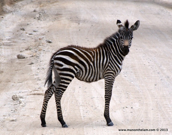 Lone Zebra -- Tarangire National Park, Tanzania