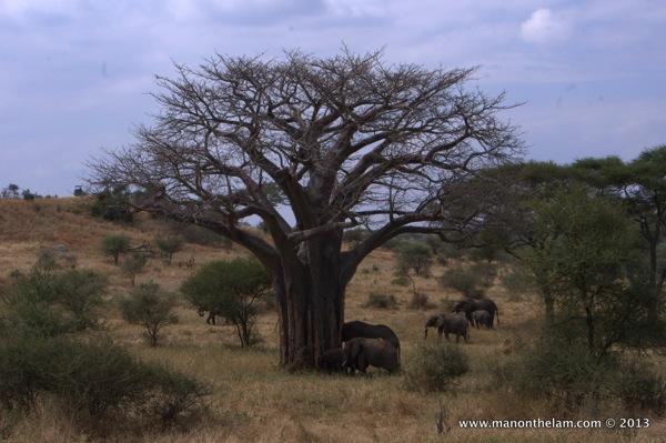 Herd of elephants -- Tarangire National Park, Tanzania