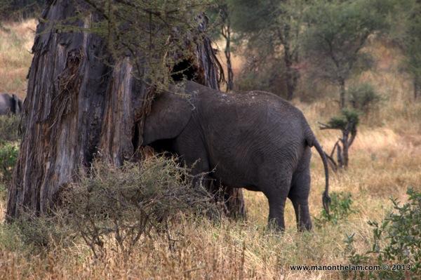 Elephant eating tree -- Tarangire National Park, Tanzania