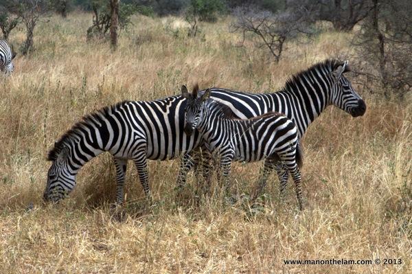 Zebra family -- Tarangire National Park, Tanzania