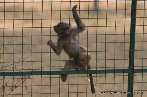 baby baboon climbing a fence -- Tarangire National Park, Tanzania