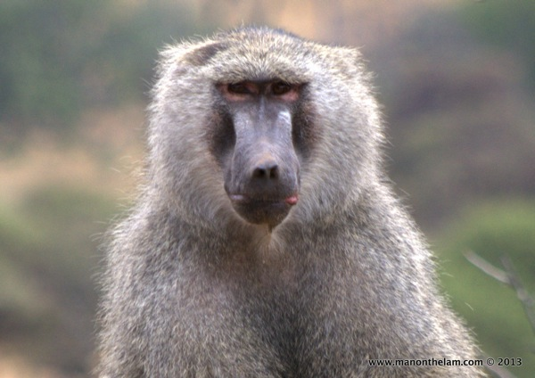 Adult baboon -- Tarangire National Park, Tanzania