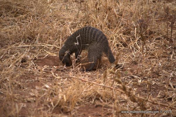 Mongoose digging a hole -- Tarangire National Park, Tanzania
