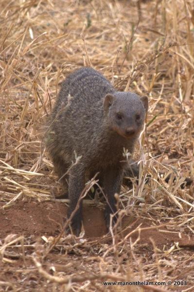Mongoose -- Tarangire National Park, Tanzania