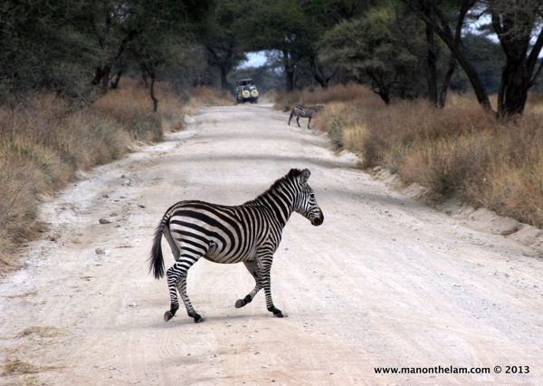 Zebra Crossing,  Tarangire National Park, Tanzania
