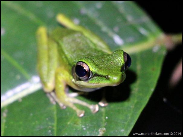 White lipped frog international bornean frog race sarawak borneo malaysia thumb
