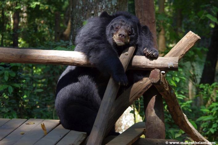 Moon bear taking a nap free the bears laos rescue centrejpg